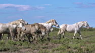 Camargue Horse Kicking, Saintes Marie de la Mer in The South of France, Real Stock Footage