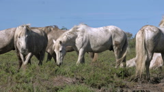 Camargue Horse, Herd Walking, Saintes Marie de la Mer in The South of France Stock Footage