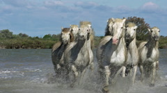 Camargue Horse, Herd Trotting through Swamp, Saintes Marie de la Mer in The Stock Footage