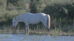 Camargue Horse, Stallion walking through Swamp, Saintes Marie de la Mer  Stock Footage