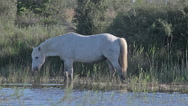 Camargue Horse, Stallion walking through Swamp, Saintes Marie de la Mer  Stock Footage