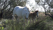 Camargue Horse, Herd standing in Tall Grass, Saintes Marie de la Mer in The Stock Footage