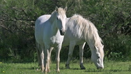 Camargue Horse, Mares, Saintes Marie de la Mer in The South of France, Real Time Stock Footage