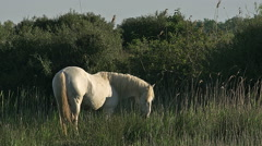 Camargue Horse, Stallion eating Grass, Saintes Marie de la Mer  Stock Footage