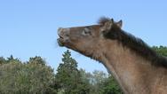 Camargue Horse, Foal in Flehmen, Saintes Marie de la Mer in The South of France, Stock Footage