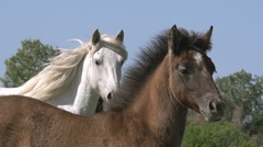 Camargue Horse, Mare and Foal, Saintes Marie de la Mer in The South of France, Stock Footage