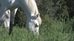 Camargue Horse, Mare eating Grass, Saintes Marie de la Mer in The South  Stock Footage