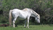 Camargue Horse, Mare lying down near Foal, Saintes Marie de la Mer  Stock Footage