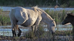 Camargue Horse, Mare and Foal eating Grass in Swamp, Saintes Marie de la Mer  Stock Footage