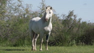 Camargue Horse, Mare, Saintes Marie de la Mer in The South of France, Real Time Stock Footage