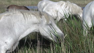 Camargue Horse, Mares eating tall grass in Swamp, Saintes Marie de la Mer  Stock Footage