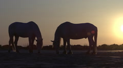Silhouette of Camargue Horse at Sunrise, Saintes Marie de la Mer  Stock Footage
