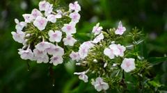 White phlox in rain in summer Stock Footage