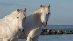 Camargue Horse, Saintes Marie de la Mer in The South of France, Real Time Stock Footage