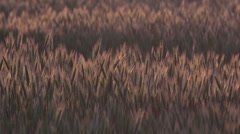 Wheat Field in the Wind, Lorraine in the East of France, Real Time Stock Footage