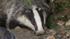 European Badger, meles meles, Normandy, Real Time Stock Footage