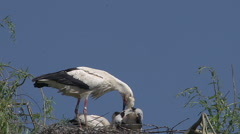White Stork, ciconia ciconia, Adult Feeding Chicks on Nest, Alsace in France Stock Footage