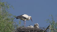 White Stork, ciconia ciconia, Adult and Chicks standing on Nest Stock Footage