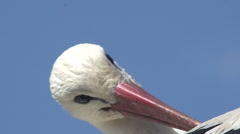 White Stork, ciconia ciconia, Adult Grooming, Alsace in France, Real Time Stock Footage