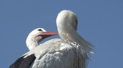 White Stork, ciconia ciconia, Pair Grooming, Alsace in France, Real Time Stock Footage