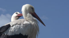 White Stork, ciconia ciconia, Pair standing on Nest, Alsace in France, Real Time Stock Footage