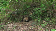 Red Fox, vulpes vulpes, Female emerging from Den, Normandy, Real Time Stock Footage