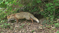 Red Fox, vulpes vulpes, Female standing at Den Entrance, Normandy, Real Time Arkistovideo