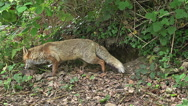 Red Fox, vulpes vulpes, Female standing at Den Entrance, Normandy, Real Time Stock Footage