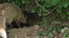 Red Fox, vulpes vulpes, Mother and Cub standing at Den Entrance, Normandy Stock Footage