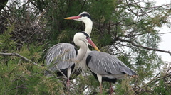 Grey Heron, ardea cinerea, Pair standing on Nest, Camargue in the South  Stock Footage