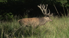 Red Deer, cervus elaphus, Stag walking, Sweden, Real Time Stock Footage