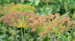 Umbrellas of fennel with seeds in August Stock Footage