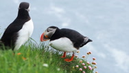 Atlantic Puffins on the cliff at Latrabjarg in Iceland Stock Footage