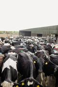 High angle view of cattle standing outside barn Stock Photos