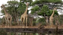 South African Giraffe, giraffa camelopardalis giraffa, Group at Water Hole Stock Footage