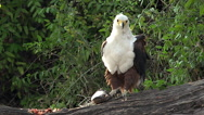 African Fish-Eagle, haliaeetus vocifer, Adult eating Fish, Chobe River, Okavango Stock Footage