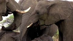 African Elephant, loxodonta africana, Group drinking water Near Chobe River, Stock Footage