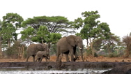 African Elephant, loxodonta africana, Female with youngs near Chobe River, Stock Footage