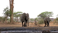 African Elephant, loxodonta africana, Female and Calf drinking water at Stock Footage