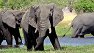 African Elephant, loxodonta africana, Adults eating grass in Khwai River, Moremi Stock Footage