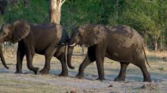 African Elephant, loxodonta africana, Group emerging from Khwai River, Moremi Stock Footage