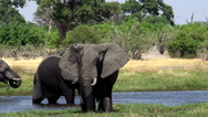 African Elephant, loxodonta africana, Group standing in Khwai River, Moremi Stock Footage