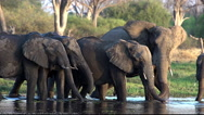 African Elephant, loxodonta africana, Group drinking water at Khwai River, Stock Footage