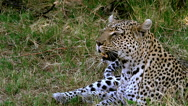 Leopard, panthera pardus, Mother laying, Moremi Reserve, Okavango Delta  Stock Footage
