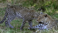 Leopard, panthera pardus, Mother with Cub, Moremi Reserve, Okavango Delta  Stock Footage