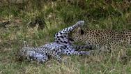 Leopard, panthera pardus, Mother Licking its Cub, Moremi Reserve, Okavango Delta Stock Footage