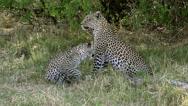 Leopard, panthera pardus, Mother with Cub, Moremi Reserve, Okavango Delta  Stock Footage