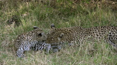 Leopard, panthera pardus, Mother Licking its Cub, Moremi Reserve, Okavango Delta Stock Footage