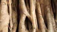The tree banyan macro Stock Footage