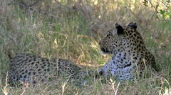 Leopard, panthera pardus, Mother Playing with Cub, Moremi Reserve, Okavango Stock Footage